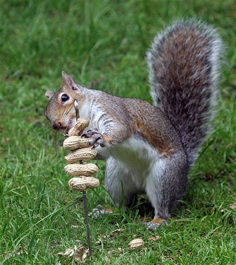 diy squirrel peanut treat kabob petdiys com