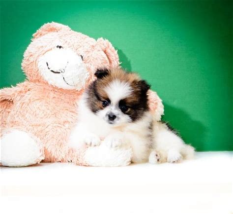 white and brown pomeranian the world s catalog of ideas