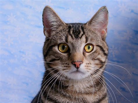 domestic shorthair cat information health pictures