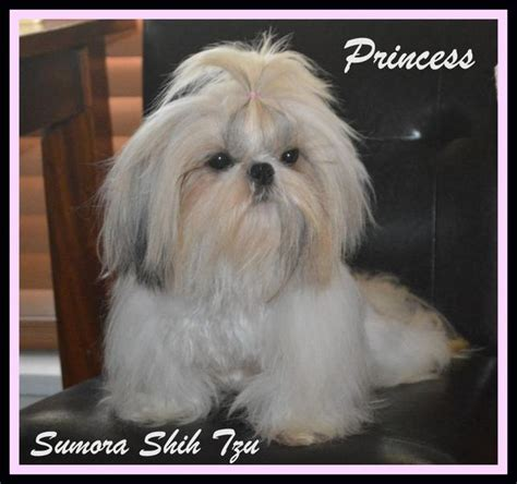 shih tzu china sumora imperial shih tzu s los angeles ca 90044