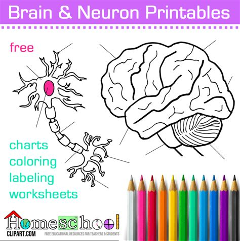 brain diagram ks2 gallery how to guide and refrence