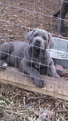 want ad digest puppies puppies for sale pet dogs and oxfords on