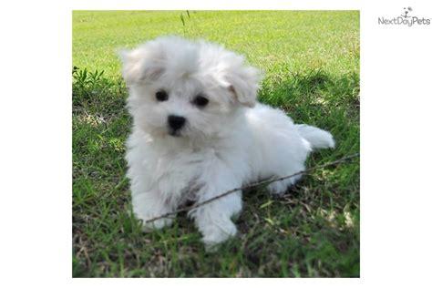 maltese puppies for sale in oklahoma maltese puppy for sale near oklahoma city oklahoma dc5b71f0 3401