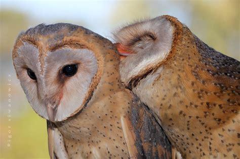 owl lover barn owl love blepharopsis deviantart com art you hooted