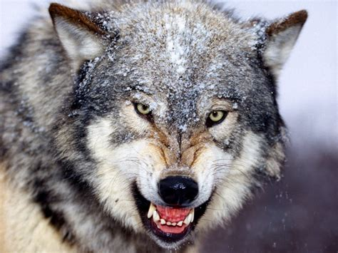 pin mad wolf animal desktop wallpaper selected 1366x768jpg