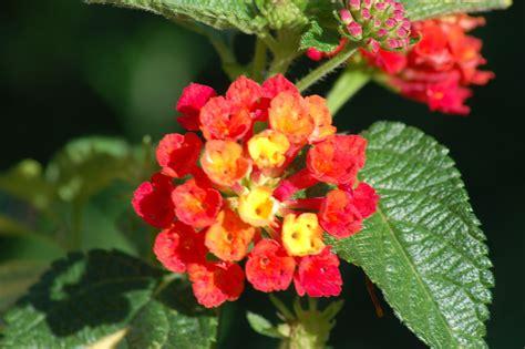 lantana plants characteristics uses growing tips