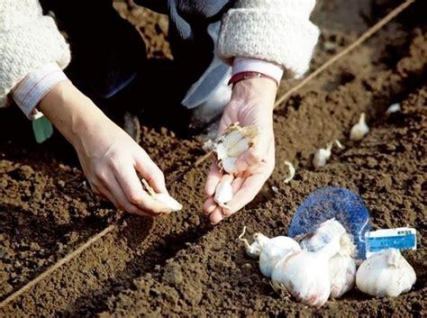 piantare aglio in vaso piantare l aglio ortaggi come piantare l aglio