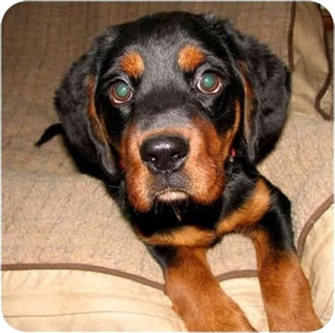 beagle and rottweiler mix dodger adopted puppy cedar creek tx rottweiler beagle mix