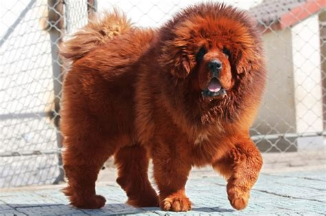 Home Design 3d Gold Download Android Yellow Tibetan Mastiff Pictures Download Over Millions