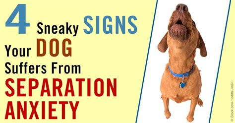 signs of separation anxiety in dogs how many signs of separation anxiety do you