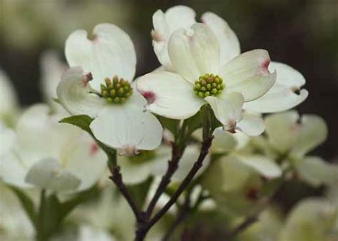 dogwood tree flowering time