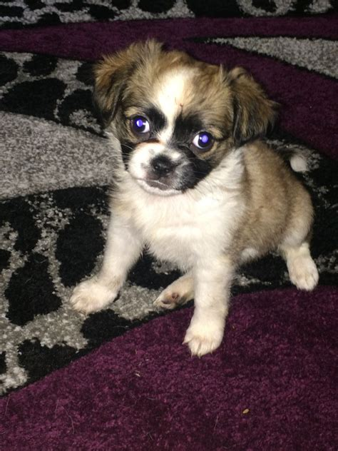 boston terrier pug for sale pug x boston terrier puppies for sale brierley hill west midlands pets4homes