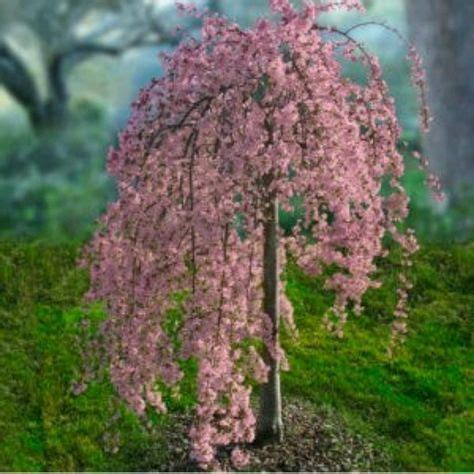 25 best ideas about weeping cherry tree on pinterest dwarf flowering trees dwarf cherry tree