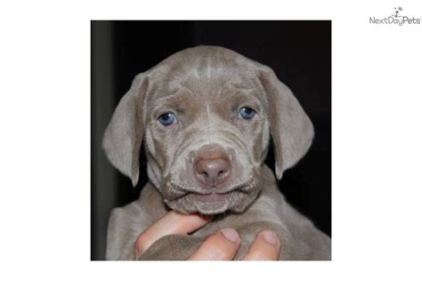 goldendoodle bloomington indiana blue weimaraner puppies for sale in breeds picture