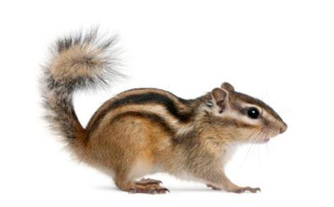 alimentazione scoiattolo cosa mangia lo scoiattolo giapponese tutto ze