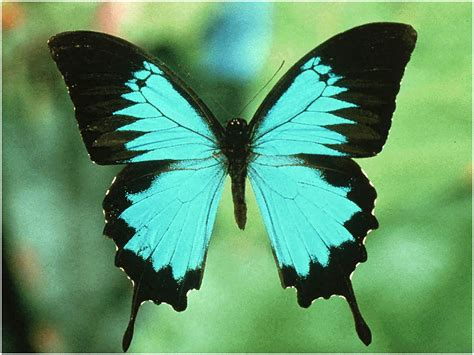 butterflies images butterflys images the blue beuty wallpaper and background