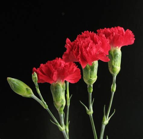 17 best ideas about carnation on casino