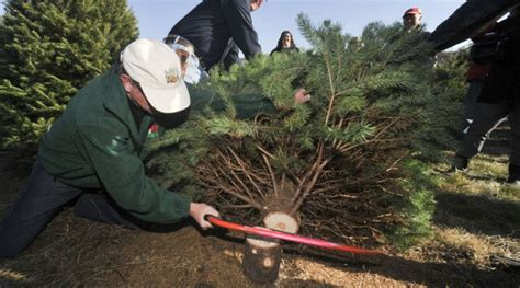 buy christmas tree cuttings njda to hold tree cutting ceremony morning ag