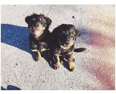 baby rottweilers for sale baby boy rottweiler for sale brighton east sussex pets4homes