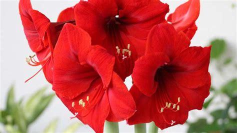 wie pflege ich eine amaryllis 4359 amaryllis pflegen die besten pflegetipps f 252 r den ritterstern