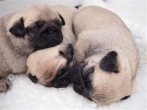 pug puppies for sale in kent beautiful k c reg pug puppies for sale canterbury kent pets4homes