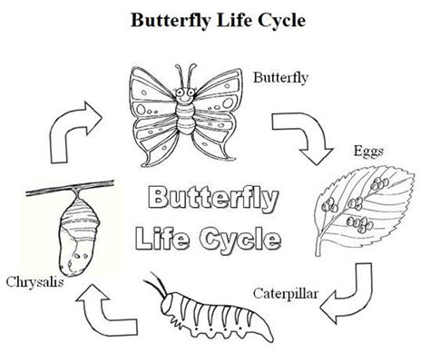 coloring page caterpillar to butterfly butterfly life cycle preschool crafts pinterest