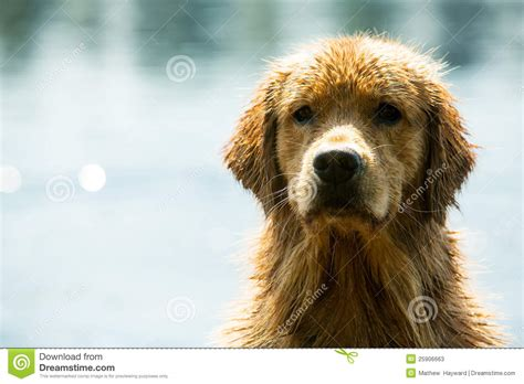 golden retriever fur golden retriever stock photos image 25906663