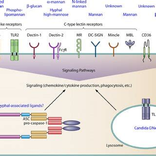 pattern recognition receptors host defense schematic diagram of the interplay between candida