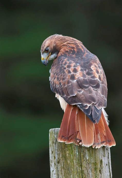 false red tailed hawk from pinterest by animalpictures