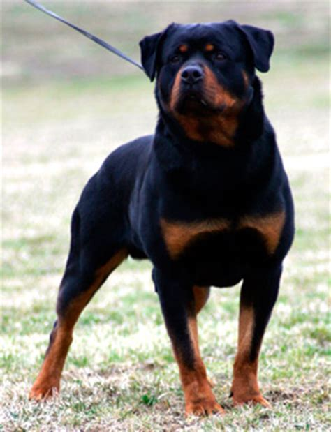 toys for rottweilers rottweiler toys world