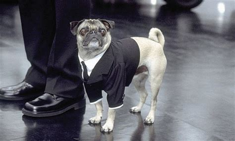name of pug in in black in black pug