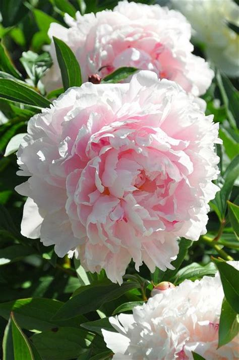 peony the best varieties for your garden books best 25 paeonia lactiflora ideas on peony