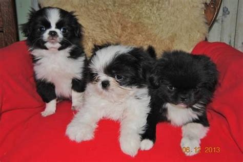 japanese chin x shih tzu the gallery for gt japanese chin shih tzu mix