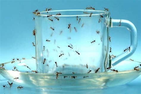 come debellare le formiche in casa come debellare un infestazione di formiche senza pesticidi