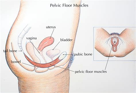 pelvic floor pelvic floor the carpet vidalondon