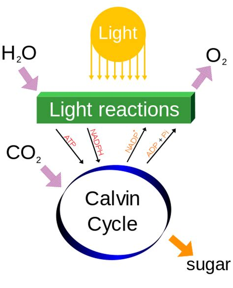 making light the sugar problem making sugar from carbon dioxide the calvin cycle