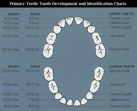 pediatric teeth diagram teeth eruption chart baby boy nursery ideas