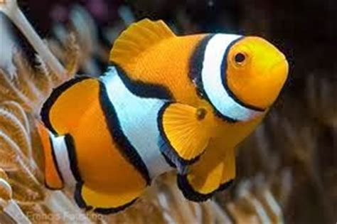 Makanan Ikan Hias Nemo budidaya ikan hias nemo atau clownfish