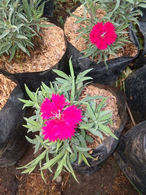 jual tanaman hias bunga anyelir  manfaat bunga anyelir