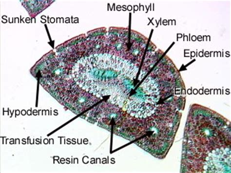 pinus leaf cross section conifers gymnosperms majors biology 2015