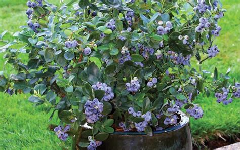 buy sunshine blue dwarf blueberry for sale online from