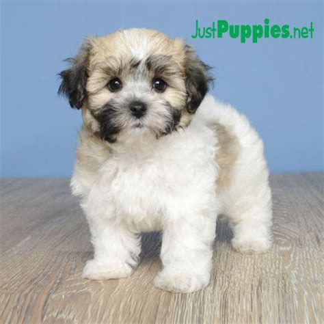 bichon frise yorkie mix 1000 images about yorkie bichon on puppys yorkie and pets