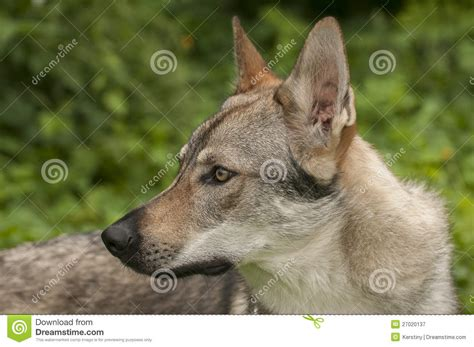 purebred czechoslovakian wolfdog puppies for sale czechoslovakian wolfdog stock photo purebred czechoslovakian wolfdog breeds picture