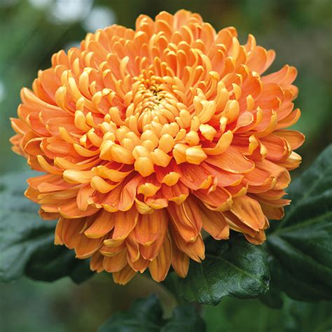 astro flower chrysanthemum astro bronze 3 young plants from mr fothergill s