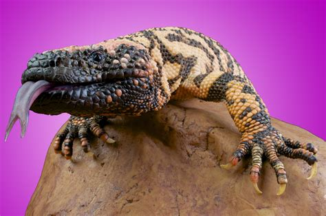 The Greatest Hope For Diabetes Is The Gila Monster And It Gila House