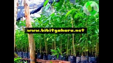 Jual Bibit Kambing Mojokerto jual bibit gaharu mojokerto jawa timur 081251826868 pt borneo nusantara internasional agarwood