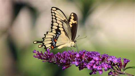 brown  sandal color butterfly  standing  purple