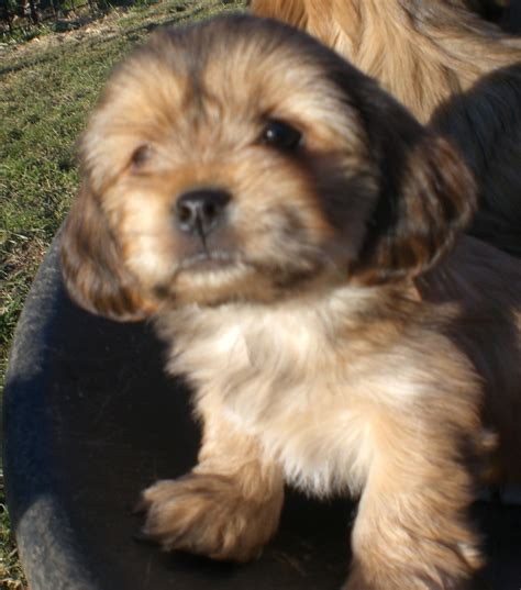 yorkie apso puppies for sale cimg2495 day puppies