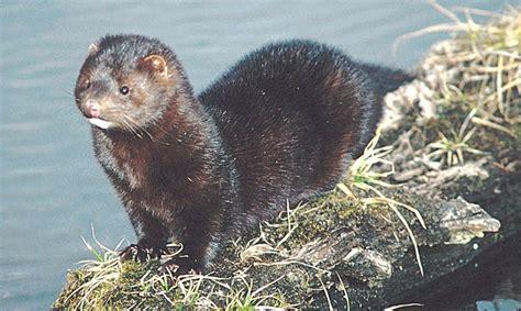 hairby minklittle falkirk environment trust identifying invasive species american mink