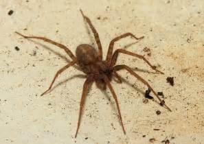 cobweb spider or house spider flickr photo